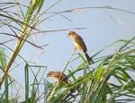 ホオジロ幼鳥.JPG